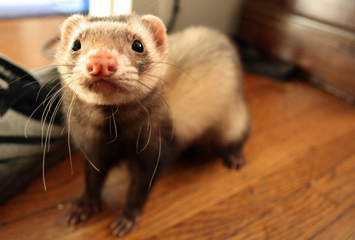 Why are ferrets popular pets?