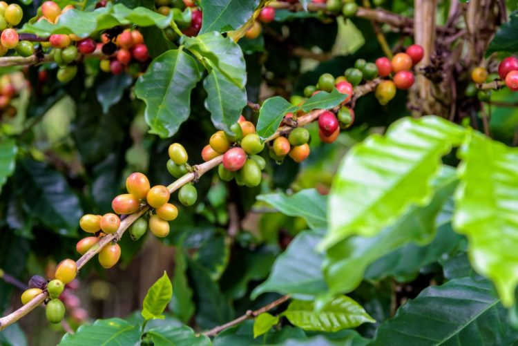 Coffee berries ripening - green and red on plant