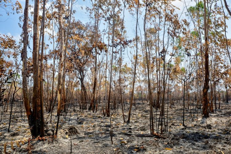 Eucalyptus trees after fire