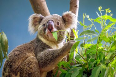 Koala in a eucalyptus tree