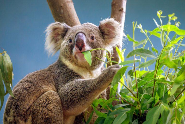 Can eucalyptus trees actually explode?