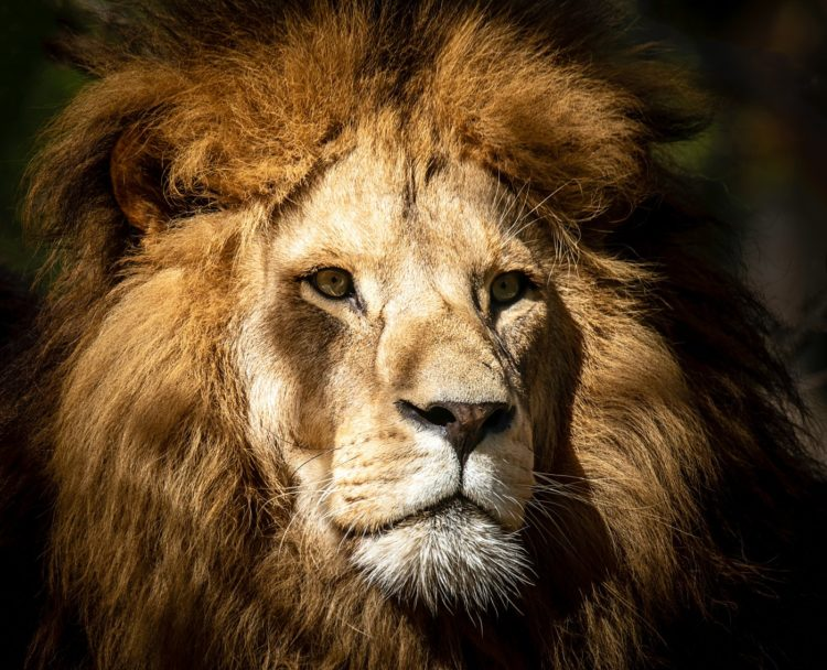 Lion face with mane and whiskers