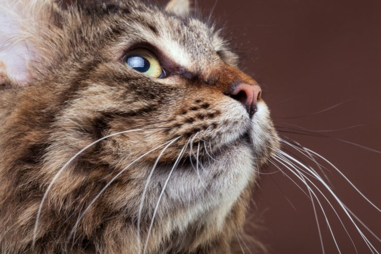 Maine Coon cat looking up - long whiskers