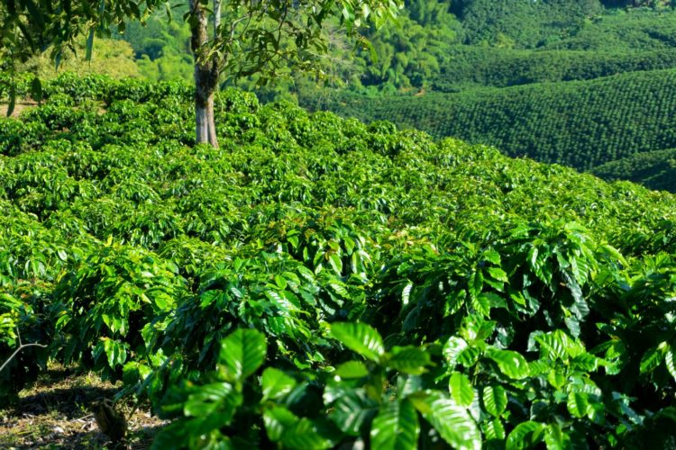 Rows of coffee plants growing