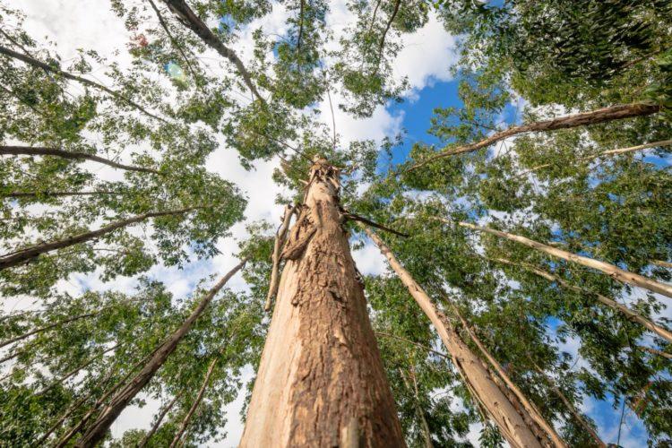 Tall grove of eucalyptus trees