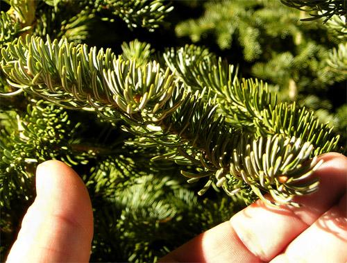 How Do You Choose A Fresh Christmas Tree?