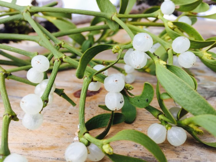 Mistletoe white berries and greenery
