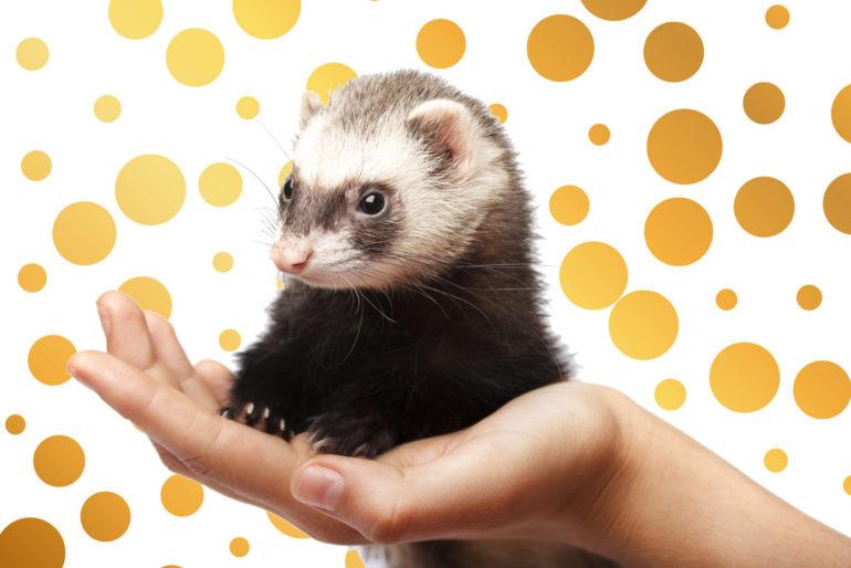 Do ferrets make good pets?