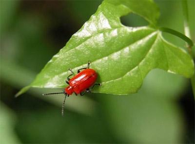 Lac Bug