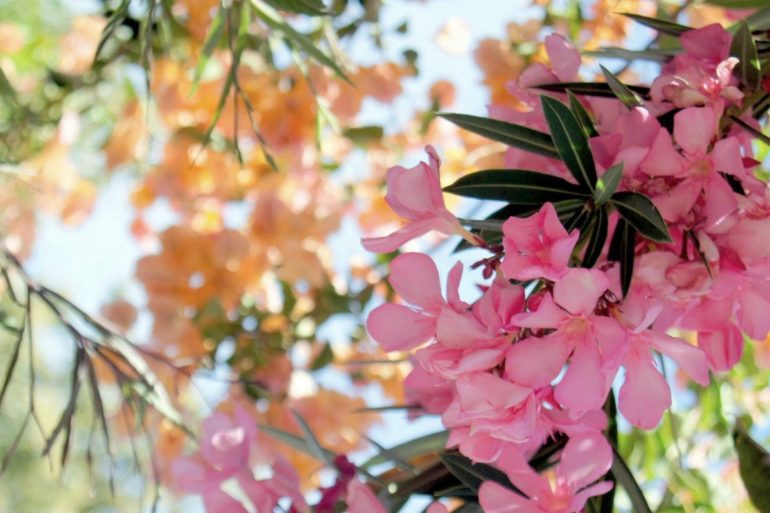 Are oleander plants really poisonous?