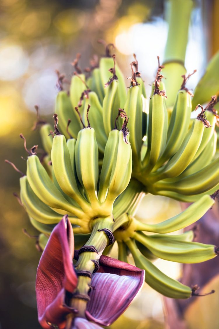 Bunches of bananas growing