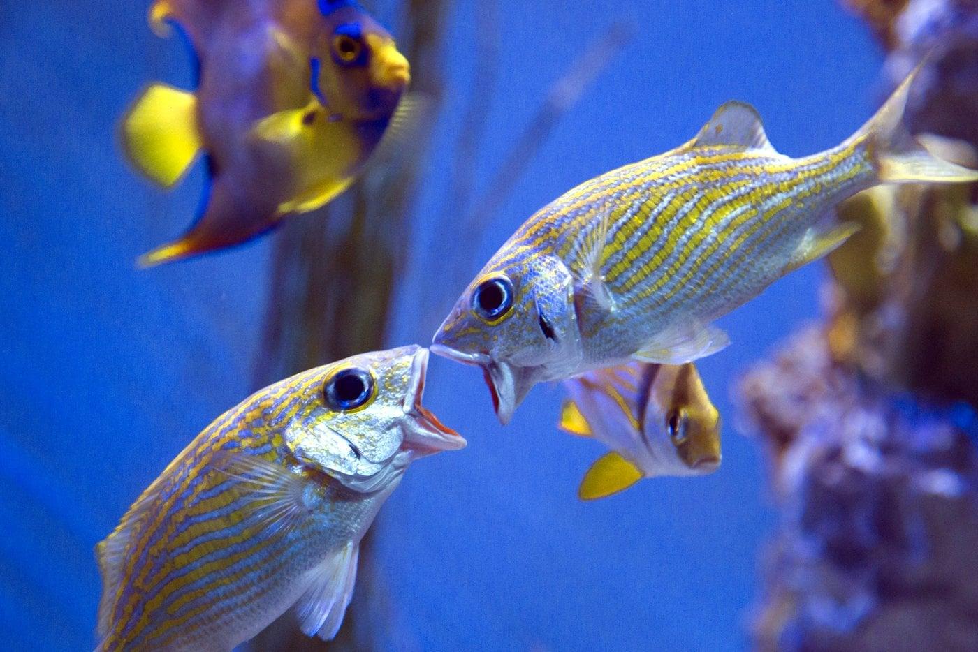 Funny fish faces in an aquarium tank