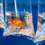 Pet goldfish in a plastic bag