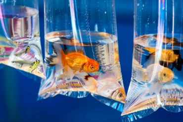 Pet goldfish in a plastic bag