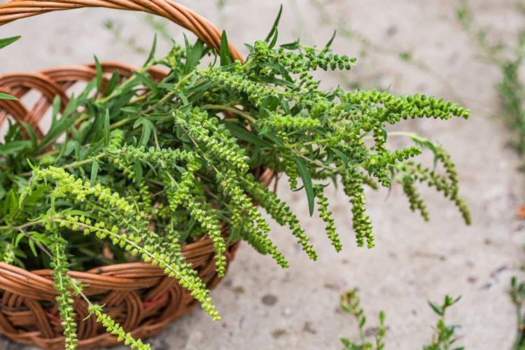 Ragweed plant - allergies