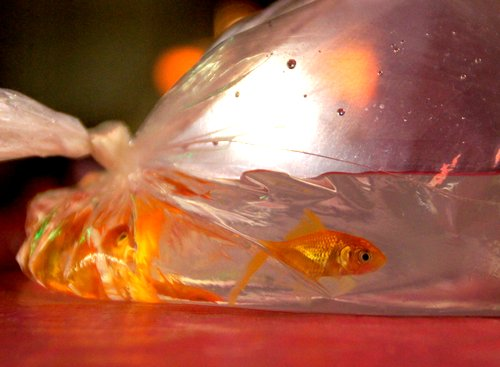 How can i keep my carnival goldfish alive findersfree for How do fishes sleep