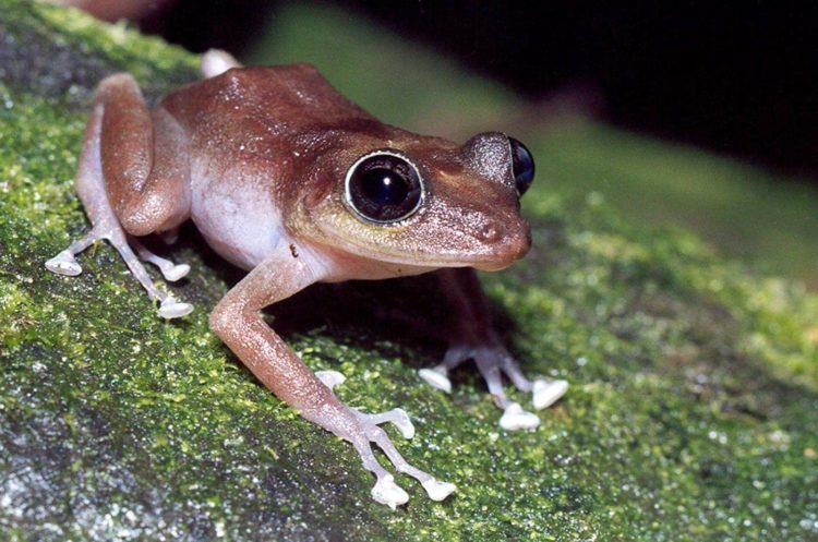 A female frog on a tree branch - Photo by JP Zegarra, USFWS