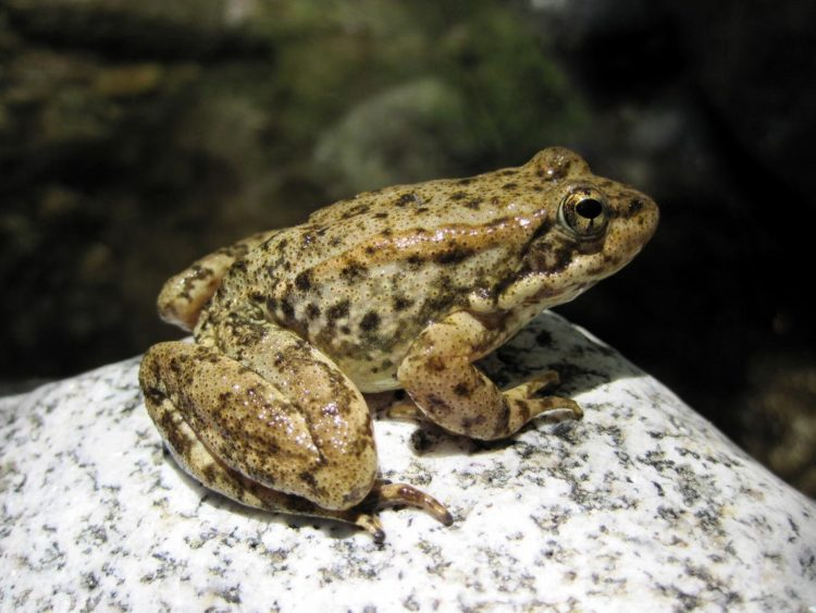 An endangered mountain yellow-legged frog (Rana muscosa) - Photo by USGS
