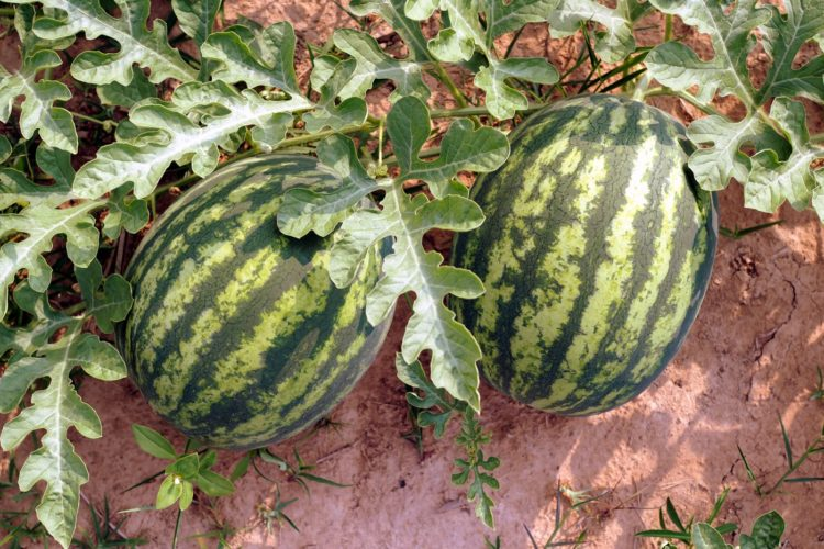 Watermelons growing in a field - Plants