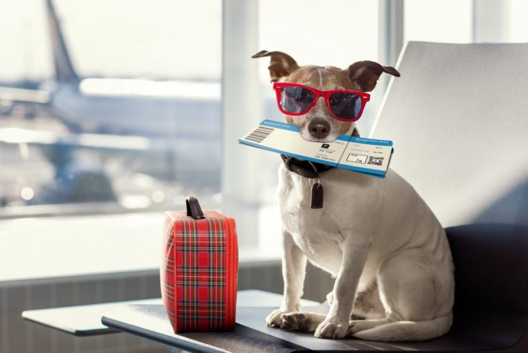 Dog ready to go on an airplane - sunglasses and a suitcase
