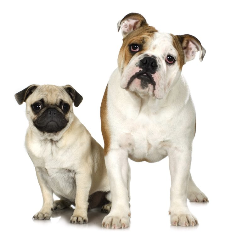 Pug and English Bulldog - Snub-nosed dogs that can't fly on airplanes