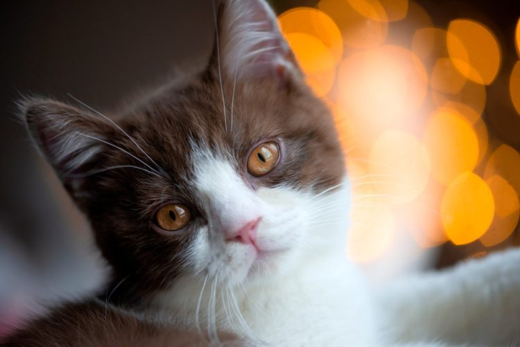 Bokeh photography effect - Cat