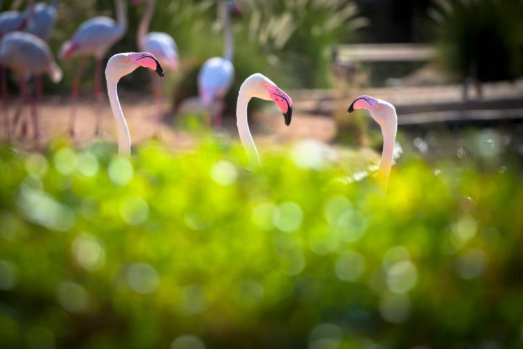 Bokeh photography effect - Flamingo birds