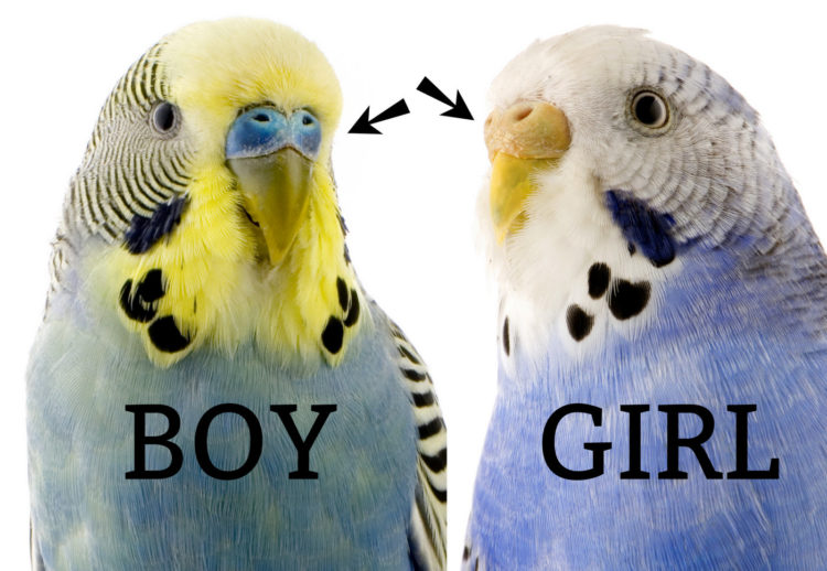 Budgie boy and girl