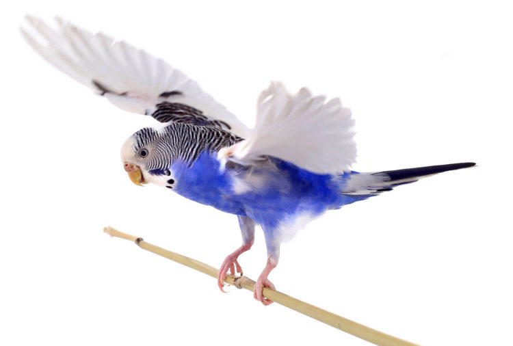 Budgie - parakeet flying