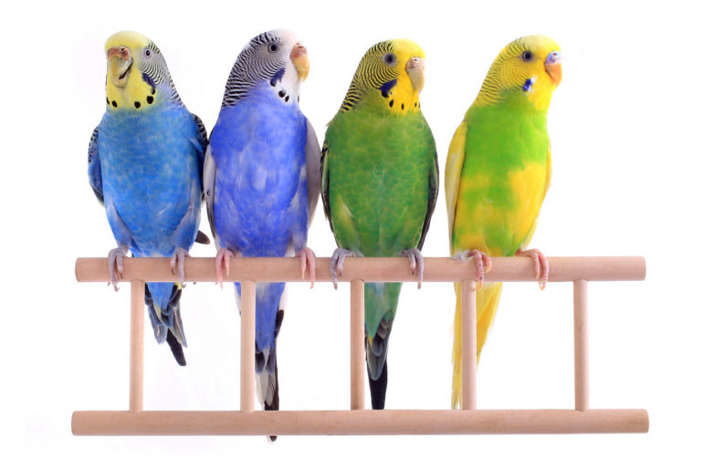 Four beautiful budgies - Parakeets