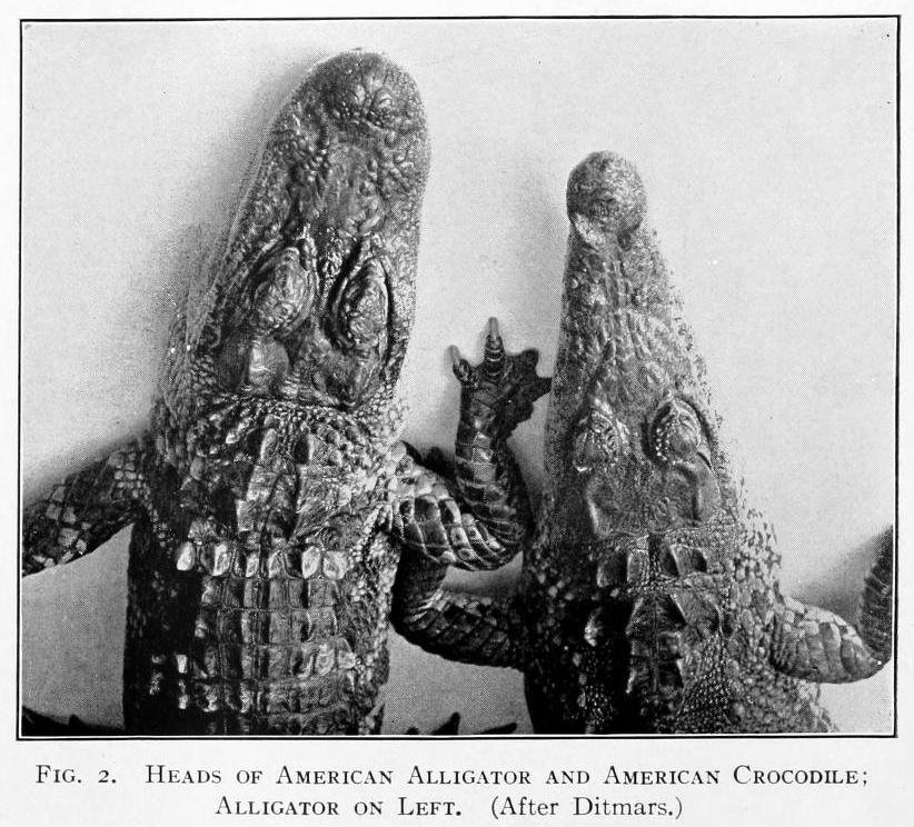 Photo from 'The alligator and its allies' by Albert Moore Reese (1915)