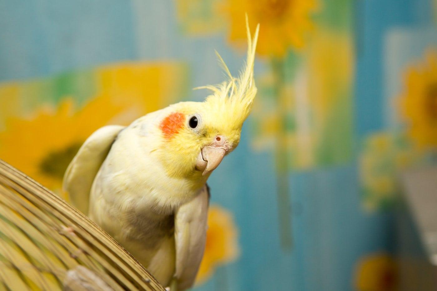 Sweet yellow cockatiel