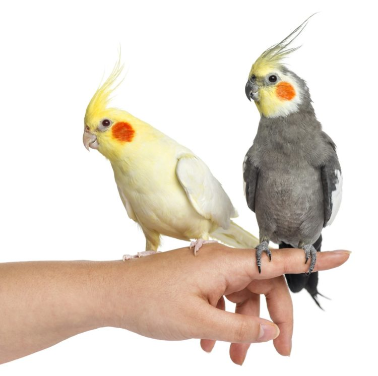 Two cute cockatiel birds sitting on a someone's hand
