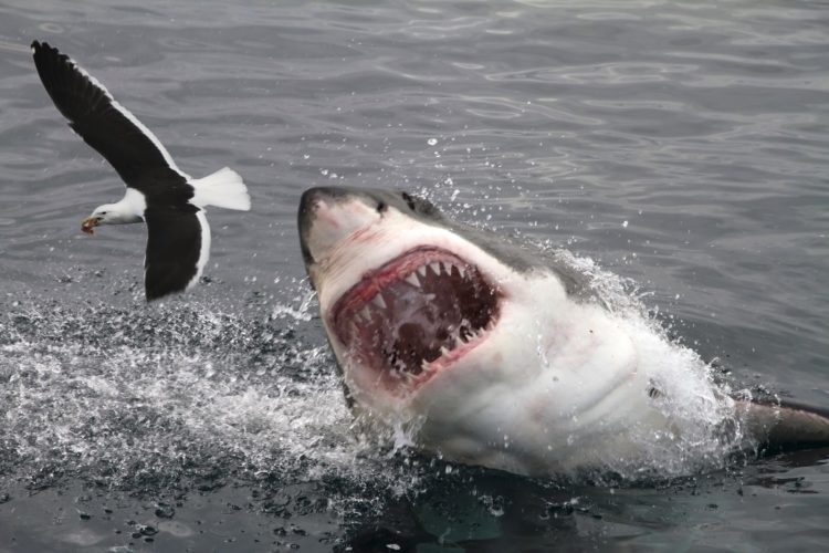 Great White shark attacking a seagull