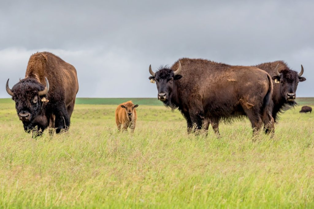 American bison and calf photo by ziaurasouthwest - Freepik