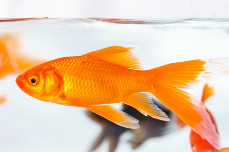 goldfish closeup in glass fish tank